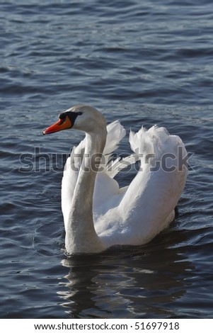 male swan is ready for fight - stock photo