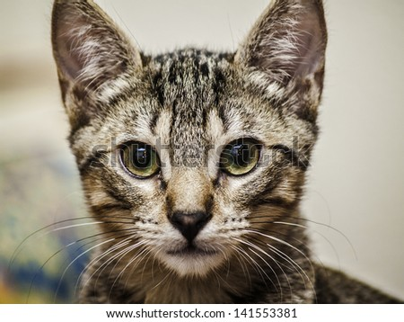 Male tabby kitten portrait - stock photo