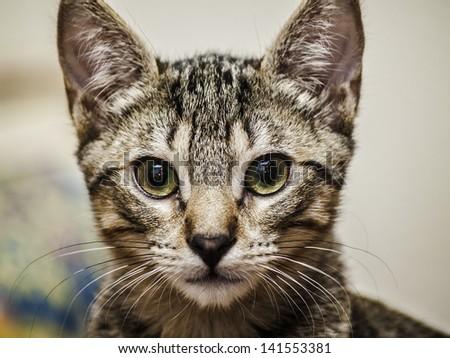 Male tabby kitten portrait - stock photo