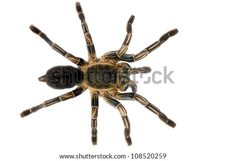 Male Thai Zebra Tarantula (Haplopelma albostriatum). This tarantula found throughout Thailand lives in burrows, is fast and quick to bite. - stock photo