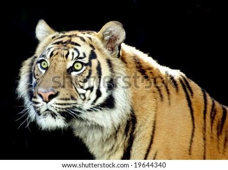 Male tiger with striking green eyes
