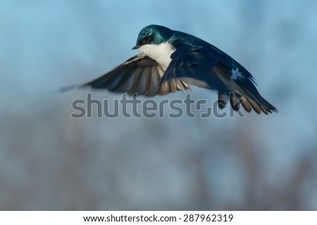 Male Tree Swallow hovering in mid air. - stock photo