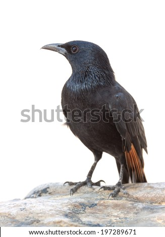 Male Tristram's Starling or Tristram's Grackle (Onychognathus tristramii) on white background