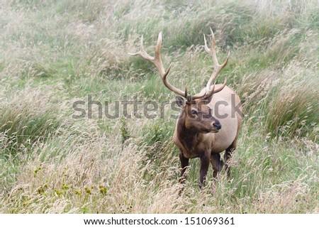 Male Tule Elk standing in the foggy meadow, Point Reyes National Seashore, CA. - stock photo
