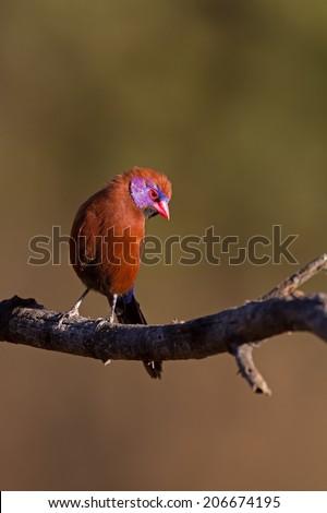 Male Violet-Eared waxbill perched on twig; Granatina granatina - stock photo