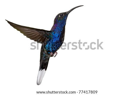 Male violet sabrewing (Campylopterus hemileucurus) in flight, Isolated on white background - stock photo