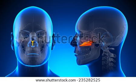 Male Vomer Skull Anatomy - blue concept