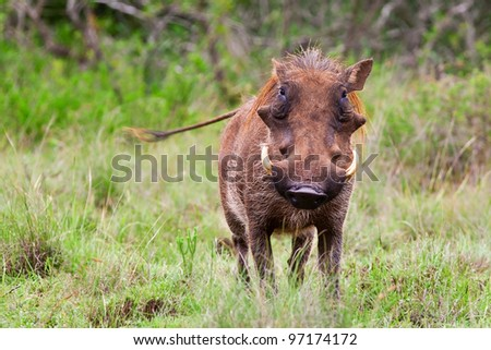 Male warthog in Kruger National Park, South Africa - stock photo
