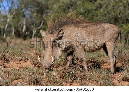 Male warthog in the african bush