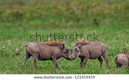 Male warthogs in Lake Nakuru National Park - Kenya, Eastern Africa - stock photo