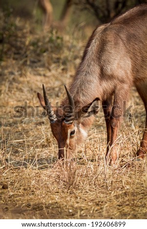 Male water buck grazing in Africa - stock photo