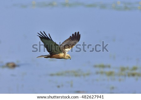 Male Western marsh harrier in flight