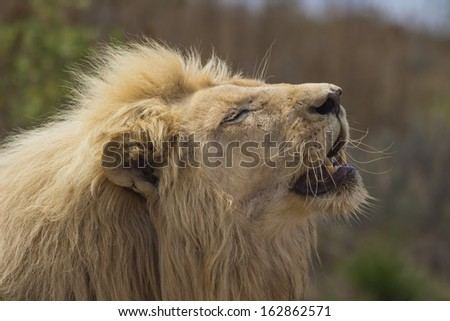 Male White Lion Basking in the Sun With His Mouth Open - stock photo
