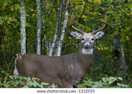 Male White Tailed Deer - stock photo
