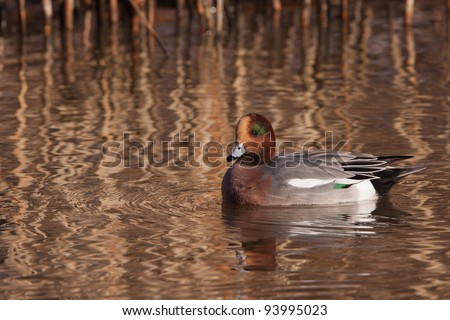 Male Wigeon or Eurasian Wigeon (Anas penelope, previously Mareca penelope) in water
