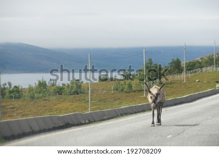 Male wild Elk crossing road in nothern Norway - stock photo