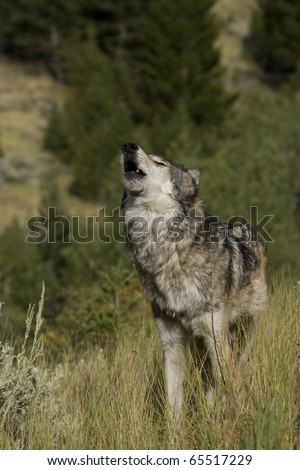 Male Wolf howls to the pack - stock photo
