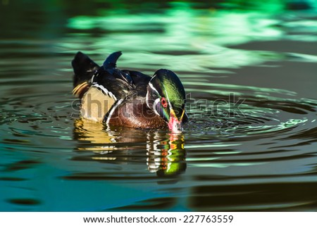 Male wood duck - stock photo