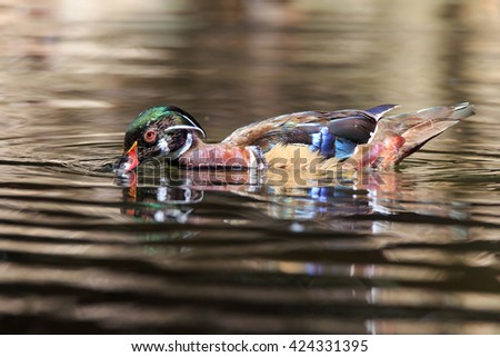 Male wood duck - stock photo