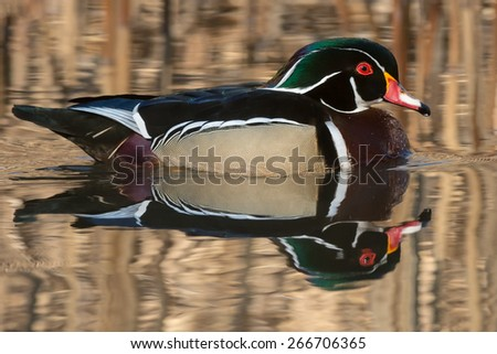 Male Wood Duck swimming in the open water. - stock photo