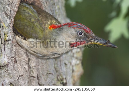 Male woodpecker ( Picus viridis ) out of the nest - stock photo