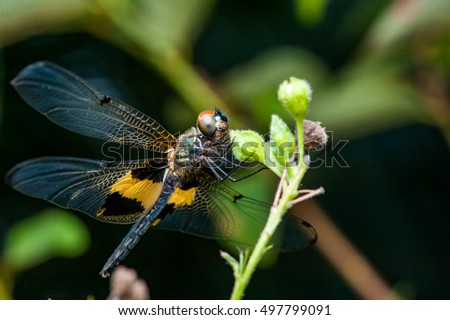 Male yellow-striped flutterer (Rhyothemis phyllis) on a plant