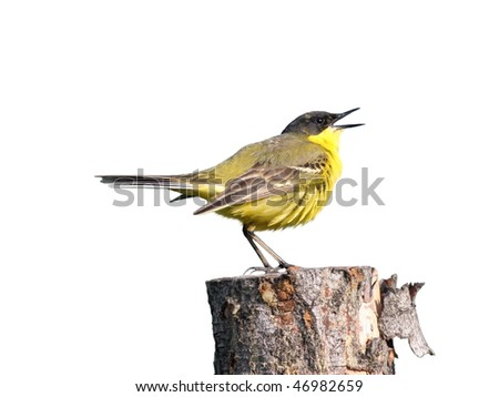 male yellow wagtail, perched on a log and sing, isolated on white - stock photo