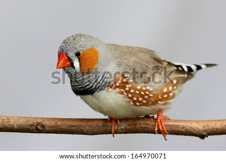 Male Zebra Finch perched on a branch - stock photo