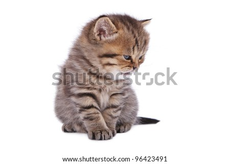 Malicious British kitten isolated on the white