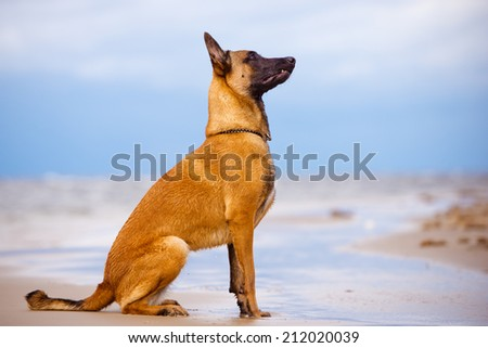 malinois dog portrait - stock photo