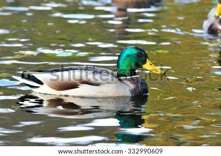 Mallard - a bird from the family of ducks detachment of waterfowl. The most famous and common wild duck. Male duck. Drake. - stock photo