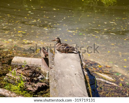 Mallard (Anas platyrhynchos) is a dabbling duck which breeds throughout the temperate and subtropical Americas, Europe, Asia, and North Africa. - stock photo