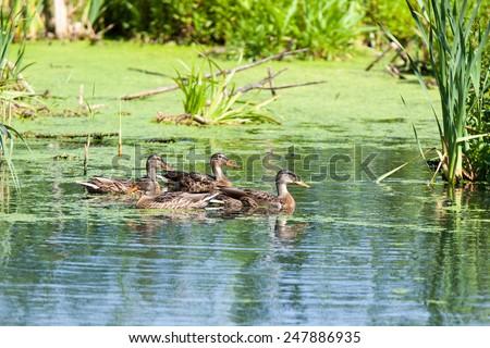 Mallard (Anas platyrhynchos).Wild bird in a natural habitat. Moscow region, Russia - stock photo