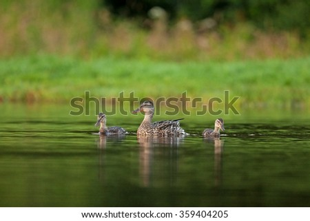 mallard, Anas platyrhynchos, wild duck - stock photo