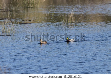Mallard couple in natural area, Andalusia, Spain