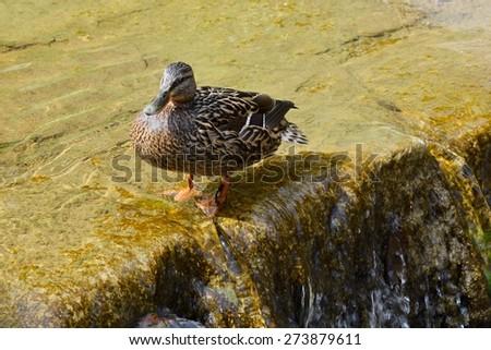 Mallard - duck (Anas platyrhynchos) - stock photo