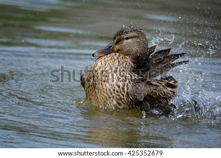 Mallard duck (Anas platyrhynchos), female in motion on water - stock photo