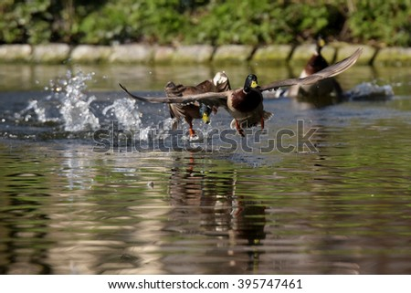 Mallard, Duck, Anas platyrhynchos - Fight - stock photo