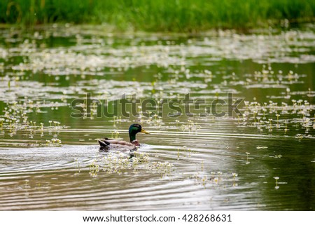 Mallard Duck (Anas platyrhynchos), Male on flowering pond with green reflecting in water. White flowers on water, spring natural scene - stock photo