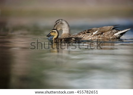 Mallard, Duck, Anas platyrhynchos - Nestling with female. - stock photo