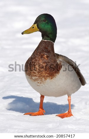Mallard duck (Anas platyrhynchos) on snow. - stock photo