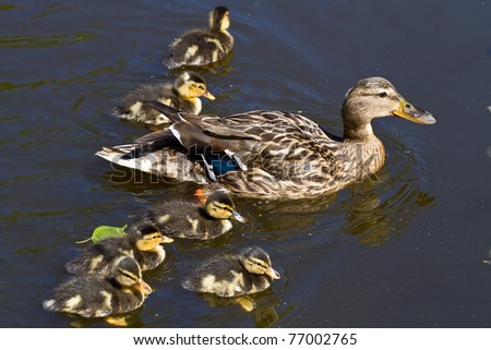 mallard duck and baby ducklings - stock photo