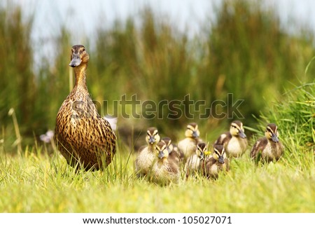 Mallard duck and her clutch of ducklings - stock photo