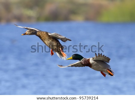 Mallard Duck Couple landing on a lake. Focus on male face.