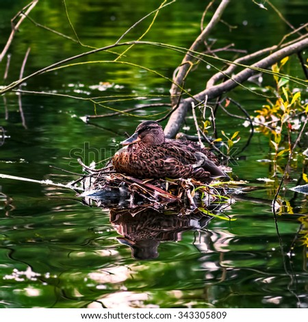 Mallard duck female laying on her nest by the river stream - stock photo