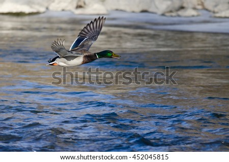 Mallard Duck Flying Over the Frozen Winter River - stock photo
