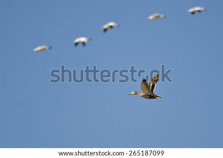 Mallard Duck Flying with the Snow Geese in a Blue Sky - stock photo