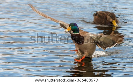 Mallard duck landing on a pond. The duck is just touching down. It is winter and there is some snow on his beak. Focus is on the head. There is room for text. - stock photo