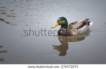 Mallard Duck (Male) - stock photo