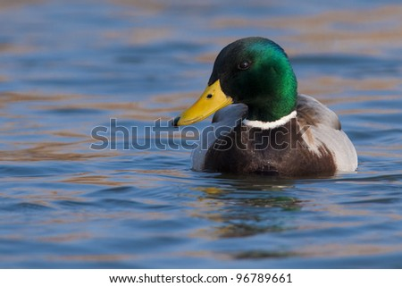 Mallard Duck male on water - stock photo